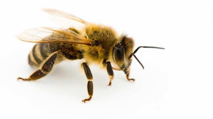 honeybee-whitebackground-ngsversion-1472674677498